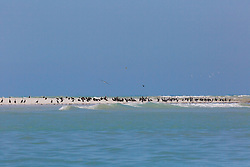 Flocks of mixed seabirds roost on the beach at Adele Island near the turn of the tide.