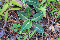 Despite the unusual name, the western rattlesnake plantain orchid has nothing to do with rattlesnakes other than that some of the leaves of orchids in the Goodyera genus can sometimes have such elaborate white-veined patterns on their dark green leaves, especially around mid-rib that they appear to resemble snake skin. As in many naming cases, once an old common or folk name gets established, then is often here to stay. These immature plants in Northern Montana will most likely put out their first flower stalks in the next year or two.