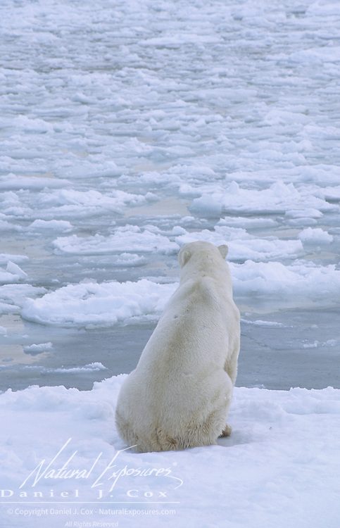 Polar Bear waiting for the ice to freeze over Hudson Bay. Cape Churchill, Canada