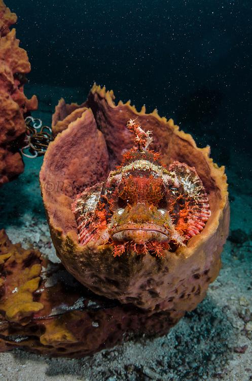 Red Scorpionfish (Scorpaenopsis sp.) in Barrel Sponge (Porifera)<br /> Cenderawasih Bay<br /> West Papua<br /> Indonesia