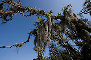 Spanish moss, St. Augustine, Florida