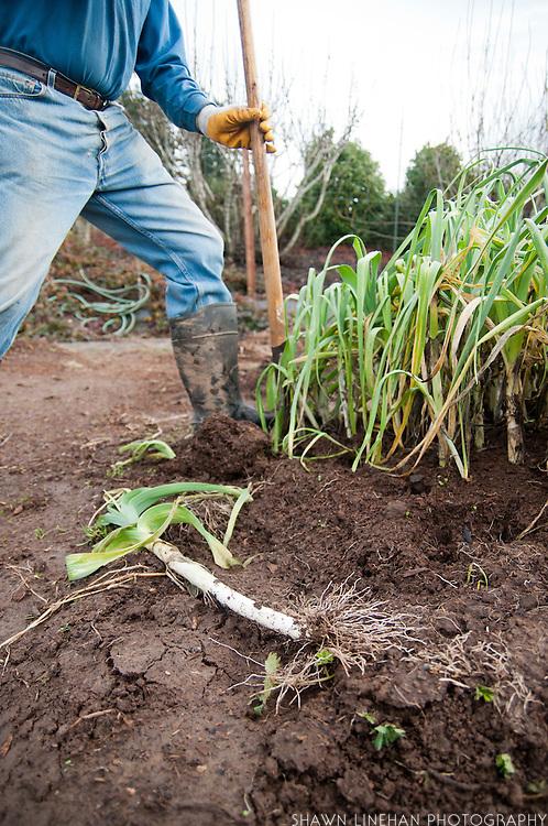 Gardener harvests leeks in the winter.