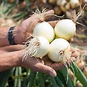 Nederland Rhoon 20 augustus 2009 20090820 Foto: David Rozing   ..Serie over levensmiddelensector                                                                                      .Een boer toont uien, zojuist met de hand geoogst.A farmer shows onions..Foto: David Rozing