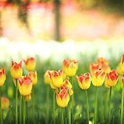 Skagit Valley Tulip Festival 2011