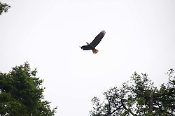 Bald Eagle (Haliaeetus leucocephalus), Stuart Island, San Juan Islands, Washington, US
