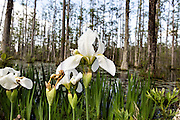 Native Iris blooming along the blackwater bald cypress and tupelo swamp during spring at Cypress Gardens April 9, 2014 in Moncks Corner, South Carolina.