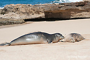 Hawaiian monk seals, Monachus schauinslandi, Critically Endangered endemic species, adult nuzzles a juvenile on beach at west end of Molokai, Hawaii ( Central Pacific Ocean )