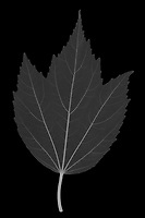 X-ray image of a swamp rose mallow leaf (Hibiscus moscheutos 'Blue River II', white on black) by Jim Wehtje, specialist in x-ray art and design images.