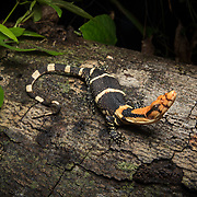 Dumeril's monitor lizard (Varanus dumerilii) juvenile in Trang, Thailand