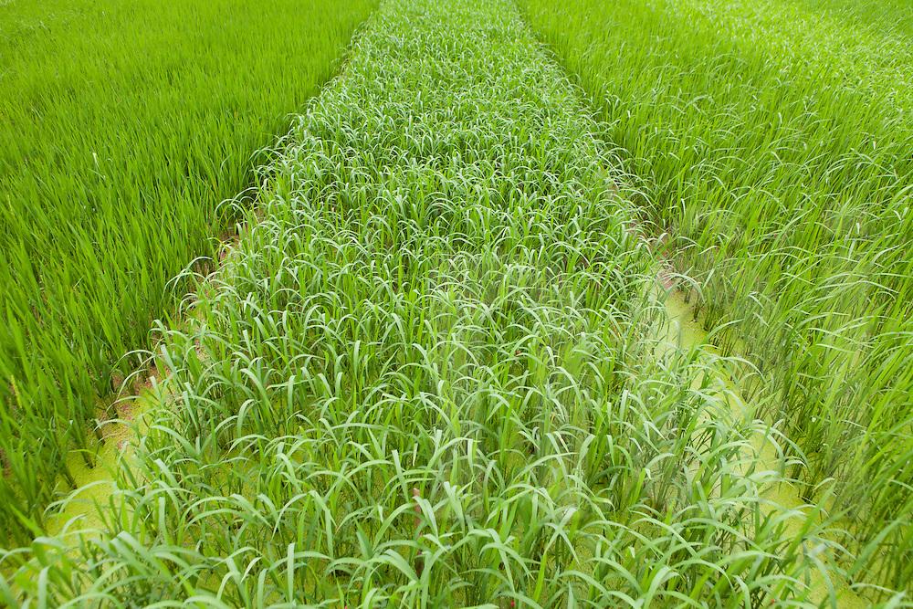 Lush green rice fields, Vietnam, Southeast Asia