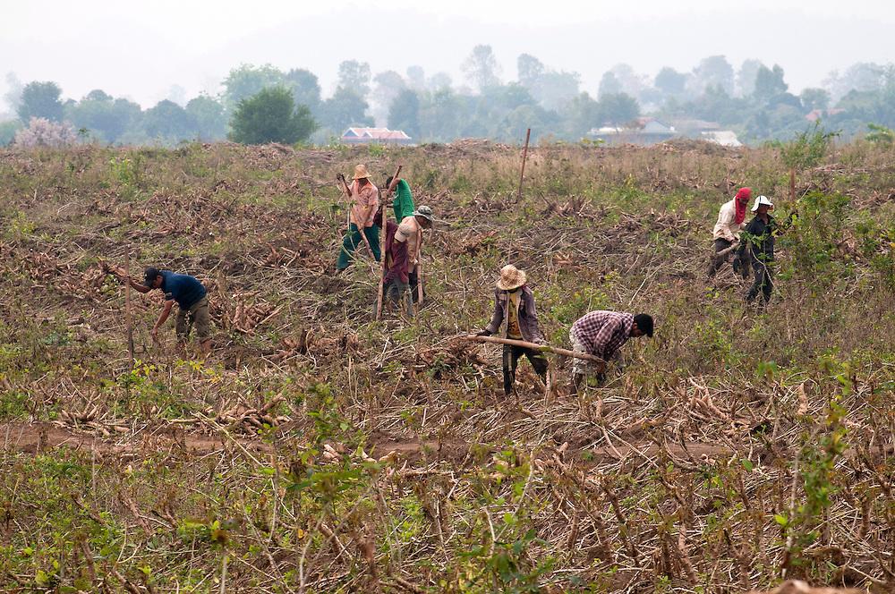 Farmers harvest cassava in Pailin Province.