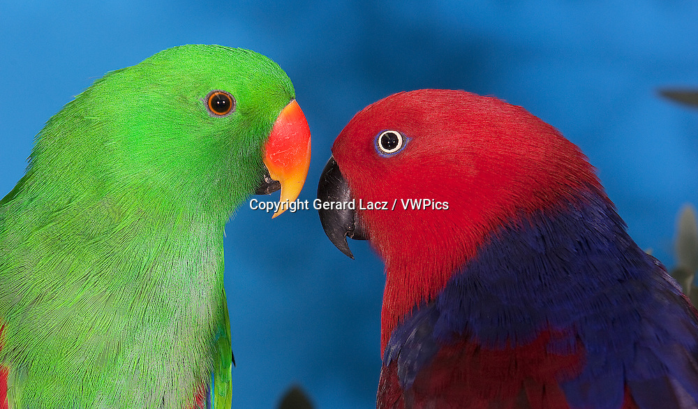 MALE AND FEMALE ECLECTUS PARROT eclectus roratus