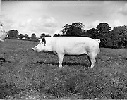 12/09/1960<br /> 09/12/1960<br /> 12 September 1960<br /> Boars at Whitehall, Drumcondra for the Department of Agriculture. Boar No. 3453.