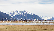 Flock of Snow Geese (Chen caerulescens) in flight over Copper River Delta in Southcentral Alaska. Spring. Morning.