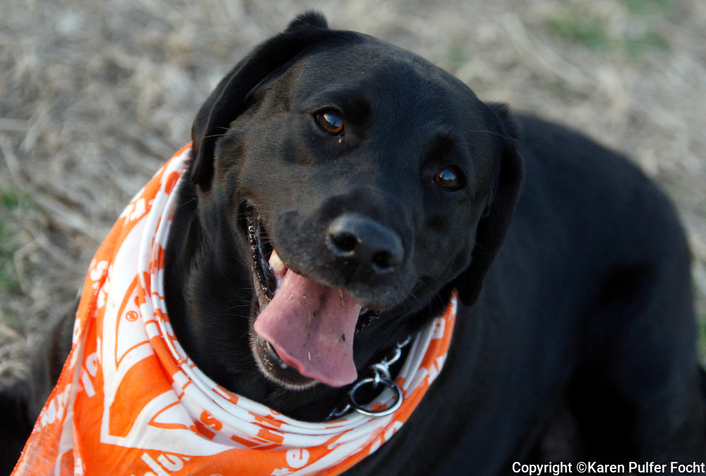 Bella, a labrador retriever from Tennessee is a UT Vols fan. <br /> <br /> <br /> <br /> <br /> ALL RIGHTS RESERVED NOT FOR USE WITHOUT PERMISSION OF PHOTOGRAPHER KAREN PULFER FOCHT
