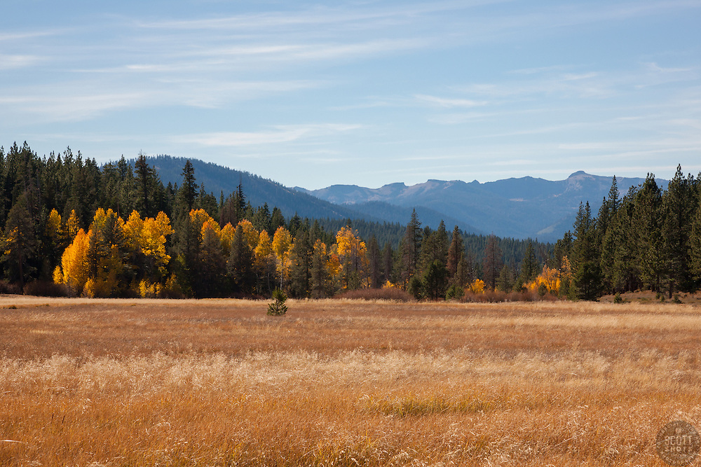 """Aspens at Klondike Meadow 1"" - These yellow aspen trees were photographed in the fall at Klondike Meadow near Truckee, California."
