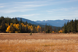 """""""Aspens at Klondike Meadow 1"""" - These yellow aspen trees were photographed in the fall at Klondike Meadow near Truckee, California."""
