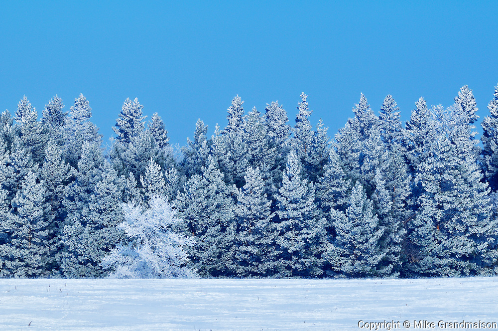 Hoarfrost on boreal forest<br /> Birds Hill Provincial Park<br /> Manitoba<br /> Canada