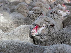 Merino sheep waiting to be shorn at The 2018 Campbell Town Show.