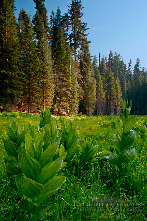 Green Corn Lily plant in forest meadow near Dorst Creek, Sequoia National Park, California