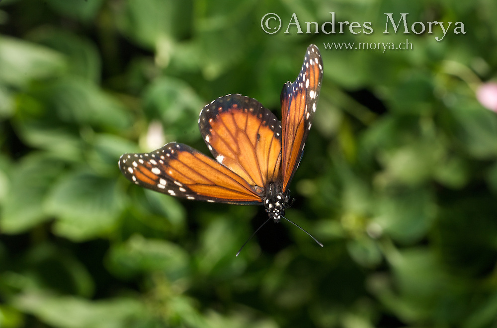Monarch Butterfly , Danaus plexippus , in flight , high speed photographic technique Image by Andres Morya