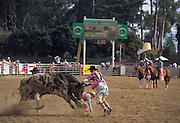 Clown, Rodeo Clown, Bull Riding, Bucking Bull, Salinas Rodeo, Salinas, California