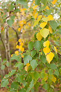Autumn Birch leaves and trees