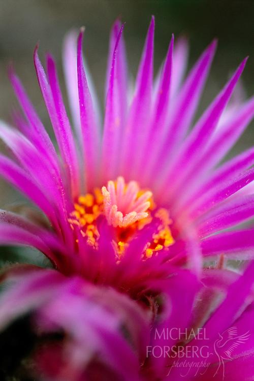 Pincushion cactus flower detail. Kimball County, Nebraska.