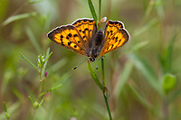Lycaena n. nivalis (Lilac-bordered Copper) ♀ at Quaking Aspen, Tulare Co, CA, USA, on 09-Jul-17