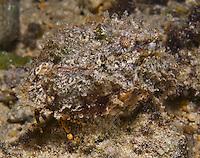 Guam Night Dive, Marine Preserve, invertebrates, crabs, hermit crabs, Micronesia