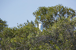 An Eastern Great Egret (Ardea alba modesta) rests on a mangrove branch at Willie Creek, north of Broome.