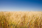 05 MAY 2008 -- BUCKEYE, AZ: Wheat growing in a field in Buckeye, AZ. Corn and wheat prices have skyrocketed in the last two years as energy prices have gone up and the use of corn crops in ethanol have taken corn out of the food chain and placed it in the energy industry. Les Heiden, owner of the Heiden Land & Cattle Company, said his corn prices have gone up by 123% since May, 2006. He attributes about 85 percent of the price increase to the ethanol industry, which he said his buying five times more corn now than they were two years ago. Heiden feeds about 4,500 head of cattle in his feed lot, which is west of Phoenix.  Photo by Jack Kurtz