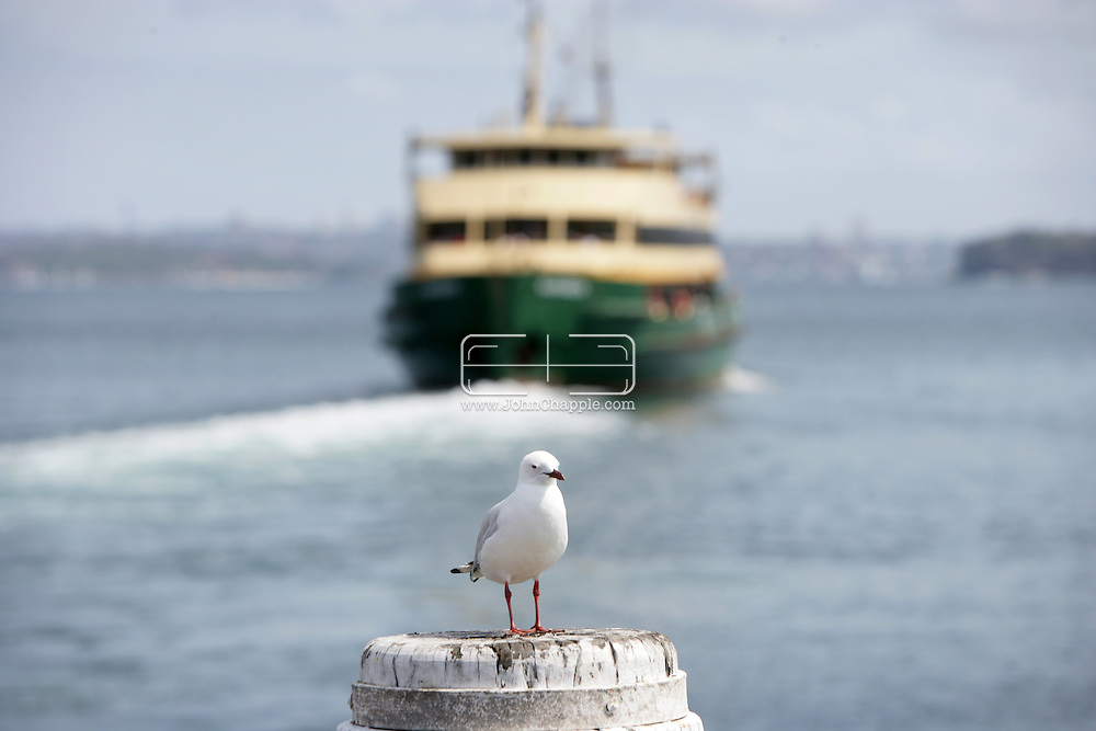 5th February 2007. Sydney, NSW. A lone seagull watches the ferry depart Manly beach, Sydney. PHOTO © JOHN CHAPPLE / REBEL IMAGES. .tel 310 570 9100.john@chapple.biz.www.chapple.biz.