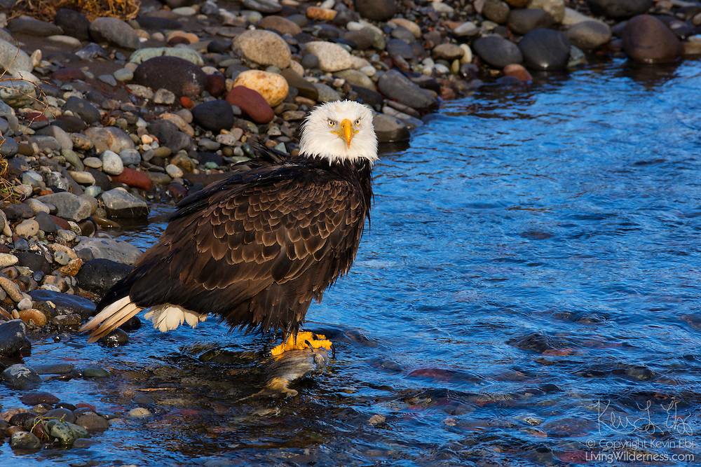An adult bald eagle (Haliaeetus leucocephalus) guards a spawned-out chum salmon, which it is feeding on in the Nooksack River near Deming, Washington.