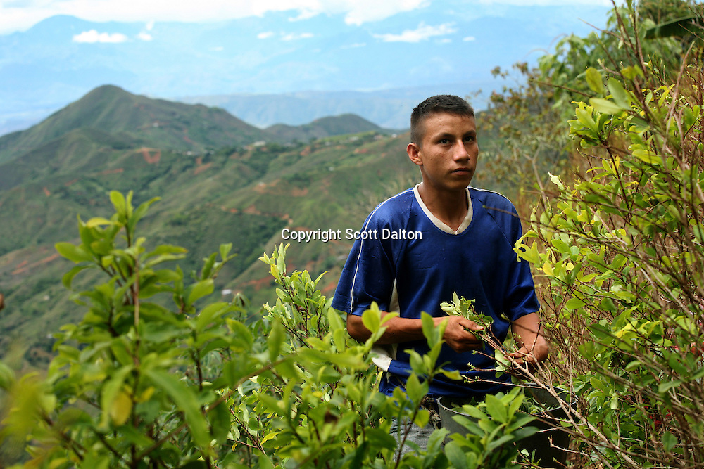A young man picks coca in a remote area of the southern Colombian state of Nariño, on Monday, June 25, 2007. Although government efforts to eradicate coca have reached many parts of Colombia, still the coca business thrives. (Photo/Scott Dalton)