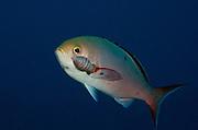 Cymothoid isopod (Anilocra spp or Renocila spp) on Creolefish (Paranthias furcifer)<br /> BONAIRE, Netherlands Antilles, Caribbean<br /> HABITAT & DISTRIBUTION: Deep deeper reefs. Florida, Bahamas, Caribbean, Gulf of Mexico south to Brazil, eastern Atlantic and eastern Pacific.