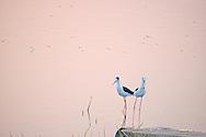 Birds feeding at the shore of Man Sagar Lake