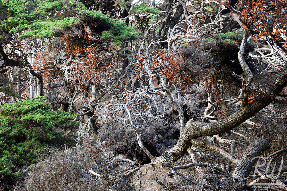 Tangled Limbs of Monterey Cypress Trees, Point Lobos State Reserve, California