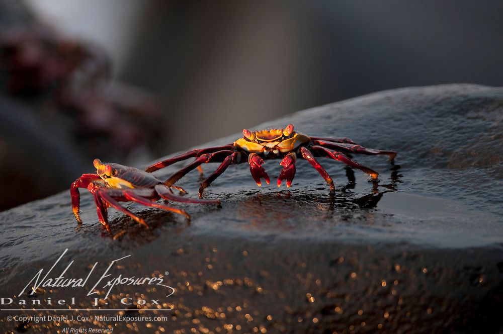 Sally Lightfoot Crabs (Grapsus grapsus) on the rocks surrounding Espanola island, Galapagos, Ecuador.