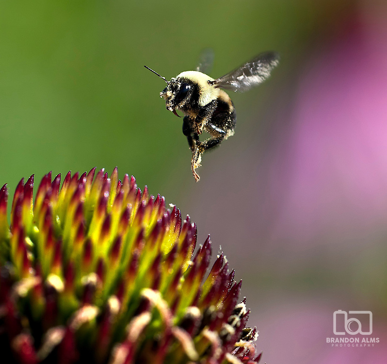 A pollen covered bumblebee takes off from a coneflower and is captured in mid flight.