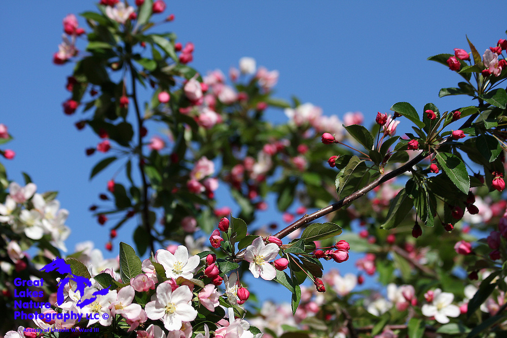 One of beautiful sights each spring is that of the blooming crabapple trees.