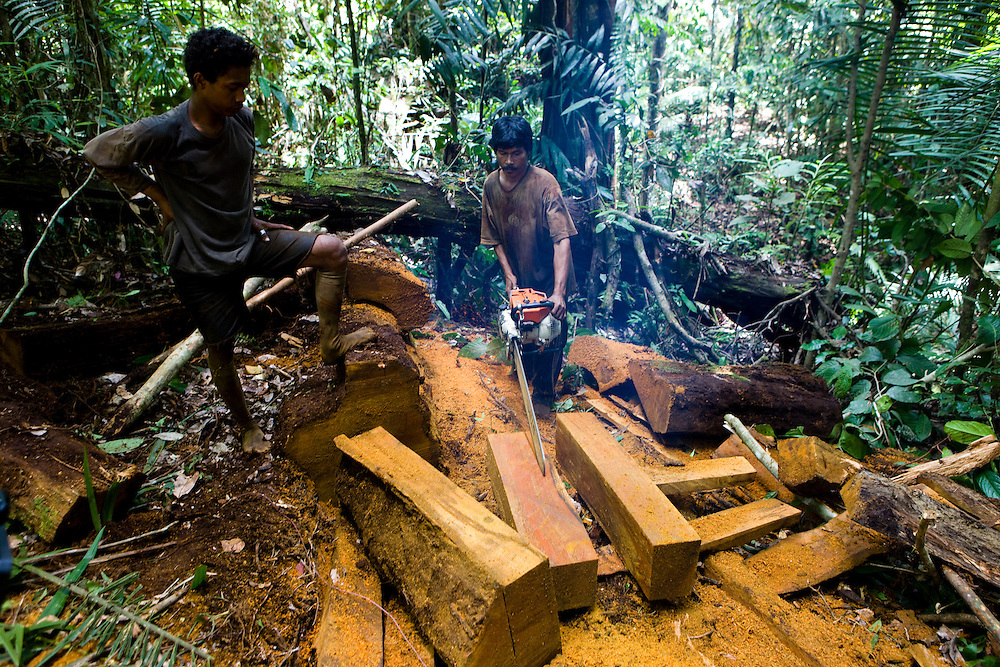 "Illegal loggers cut a fallen Iron Wood tree (Intsia palembanica) also known as ""Merbau"", near the 22,000 hectare palm oil plantation of the Sinarmas Group in Papua, Indonesia, Sept. 4, 2008. .Daniel Beltra/Greenpeace"