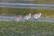 Bar-tailed Godwit, Okarito Lagoon, New Zealand