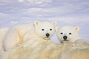 Polar Bear<br /> Ursus maritimus<br /> 3-4 month old triplet cubs on top of their mother after mother is anesthetized by polar bear biologists <br /> Wapusk National Park, Canada<br /> *Digitally removed piece of dart in foregound