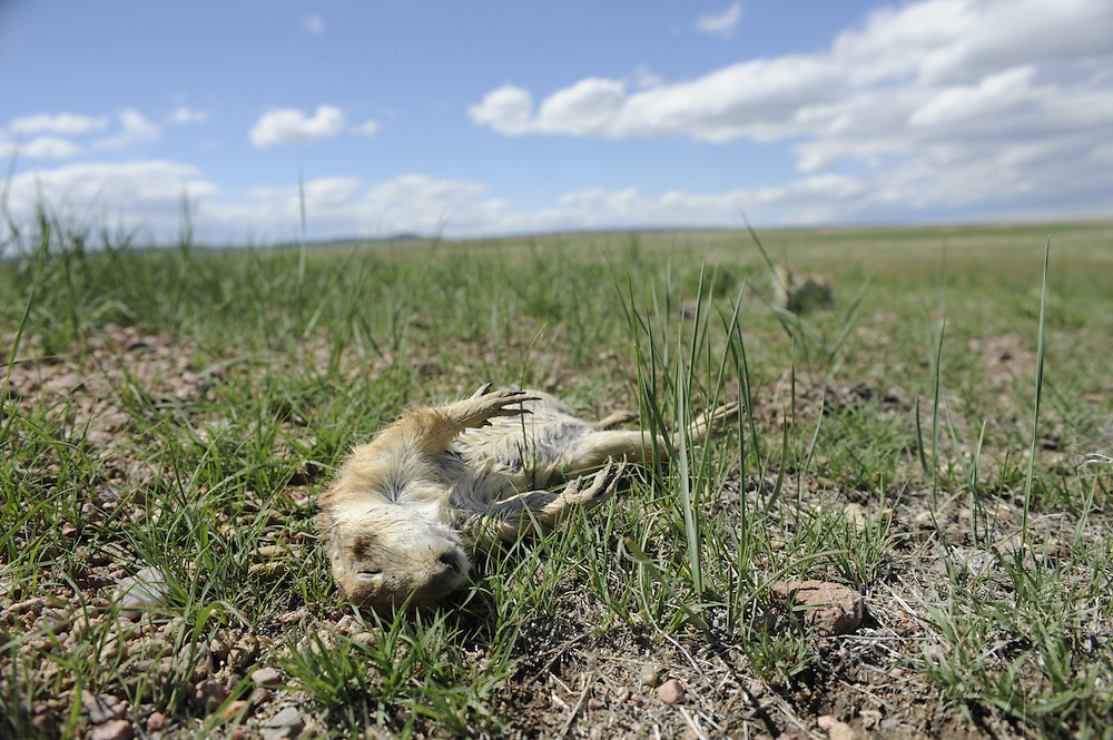 Hight Plains, shortgrass prairie region - Front Range, CO..A Black-tailed prairie dog likely killed by plague lies dead outside its burrow entrance. ..This location just had an outbreak of plauge. Plague is sweeping across prairie dog towns in the Great Plains, and can wipe out huge towns in a short period of time. ..Sylvatic plague (akin to Bubonic plague) is an exotic disease brought to the continent after 1900 and is spread primarily by fleas. ..As fewer prairie dog towns exist and wildlife that depends on these towns get more concentrated, plague has large ramifications for many species that depend on prairie dogs for survival..