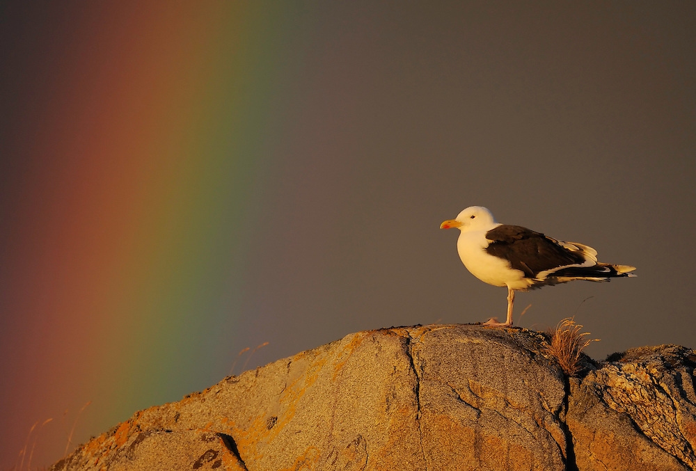 Greater black-backed gull, Larus marinus, The Living Sea, North Atlantic, Flatanger, Nord-Trondelag, Norway