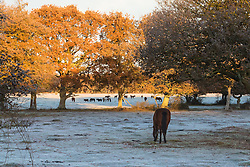 Brokenhurst, Hampshire, UK. November 19th 2016. The morning sunlight catches the autumnal colours in the trees on a frosty morning in the New Forest, near Brockenhurst, Hampshire.