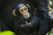 Chimpanzee <br /> Pan troglodytes<br /> One year old infant<br /> Tropical forest, Western Uganda
