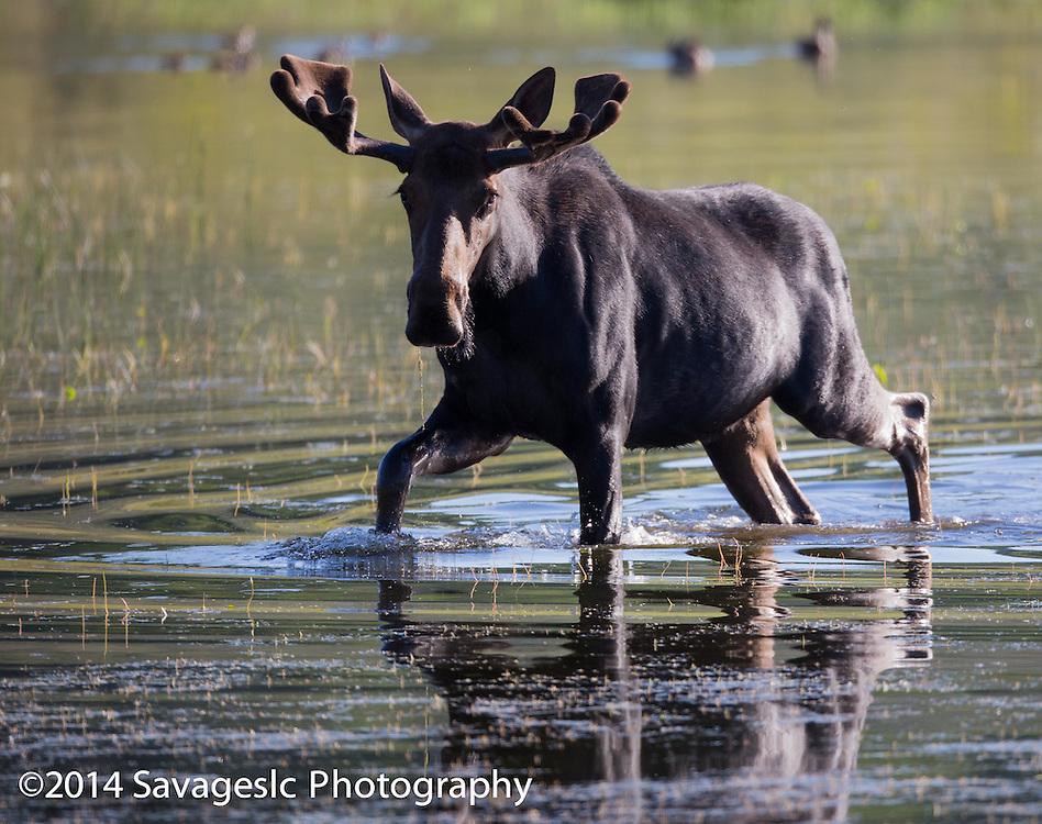 Bull moose wades through the pond. Near Bear Lake Utah/Idaho 2014