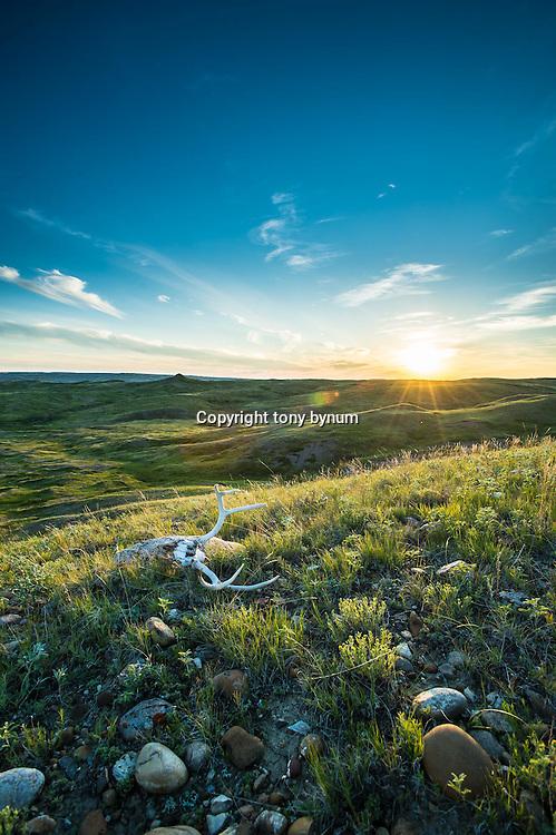 sun sets on montana prairie green grass, flowers, deer skull